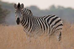 Verticale d'un zèbre sauvage en Afrique australe. photo libre de droits
