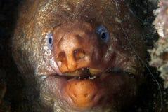 Verticale d'une anguille de murena (Moray) dans sa maison Photographie stock libre de droits