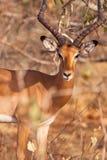 Verticale d'une antilope mâle d'Impala Image stock
