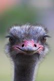 Verticale d'une autruche Photos libres de droits
