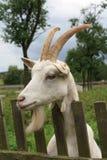 Verticale d'une chèvre Photo stock