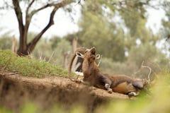 Verticale d'une chèvre sauvage en nature Image libre de droits