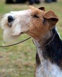 Verticale d'une chevelure de chien terrier de Fox de fil Image libre de droits
