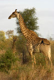 Verticale d'une giraffe Photos libres de droits