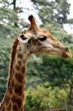 Verticale d'une giraffe Photo libre de droits