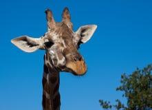Verticale d'une giraffe Photo stock