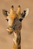 Verticale d'une giraffe   Images libres de droits