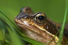 Verticale d'une grenouille image stock