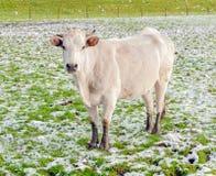 Verticale d'une jeune vache blanche restant dans la neige photos libres de droits