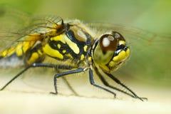 Verticale d'une libellule Photo libre de droits