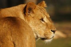 Verticale d'une lionne rêveuse Photographie stock libre de droits
