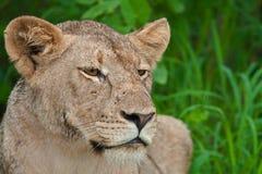 Verticale d'une lionne sous la pluie Photographie stock