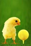 Verticale d'une manière amusante de poulet Photos libres de droits