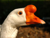 Verticale d'une oie Image stock