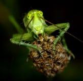 Verticale d'une sauterelle verte Photographie stock