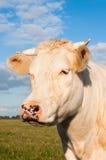 Verticale d'une vache crème avec des klaxons Image libre de droits