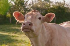 Verticale d'une vache dans un environnement normal brouillé Images stock
