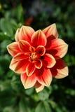 Verticale Dahlia Pinnata Royalty-vrije Stock Foto