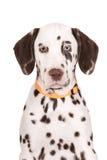 Verticale dalmatienne de chiot Photos libres de droits