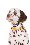 Verticale dalmatienne de chiot Images stock