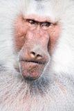 Verticale de babouin Images libres de droits