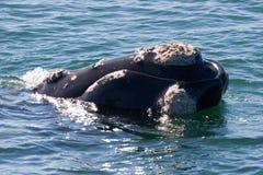 Verticale de baleine Photographie stock