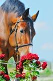 Verticale de beau cheval de baie Photographie stock libre de droits