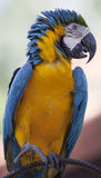Verticale de beau macaw. photo stock