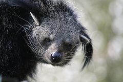 Verticale de Binturong Photo stock