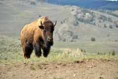 Verticale de bison Photo libre de droits