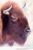 Verticale de bison Image libre de droits