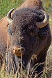 Verticale de bison américain Images libres de droits