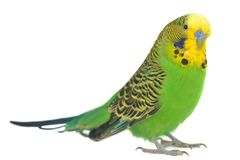 Verticale de budgerigar Photo libre de droits
