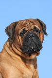 Verticale de bullmastiff images stock