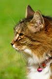 Verticale de côté de chat de Tabby Images libres de droits