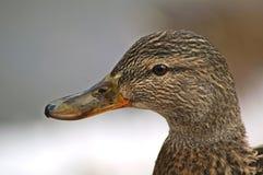 Verticale de canard photo libre de droits