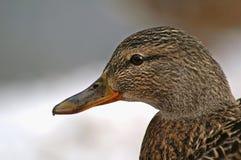 Verticale de canard images libres de droits