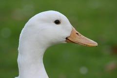 Verticale de canard photos libres de droits