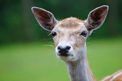 Verticale de cerfs communs Photographie stock