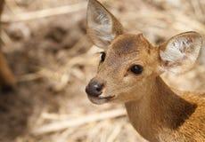 Verticale de cerfs communs Photographie stock libre de droits