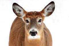 Verticale de cerfs communs d'isolement Photographie stock libre de droits