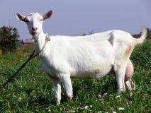 Verticale de chèvre Photos stock