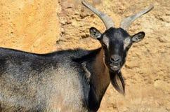 Verticale de chèvre Photos libres de droits