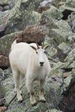 Verticale de chèvre de montagne Image libre de droits