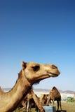 Verticale de chameau Photographie stock libre de droits