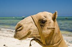 Verticale de chameau Image libre de droits