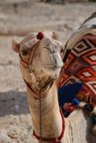 Verticale de chameau Images stock