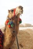 Verticale de chameau Photo stock