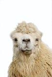 verticale de chameau Photo libre de droits