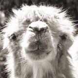 Verticale de chameau (sépia de cru tirée) Photographie stock libre de droits